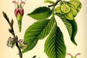 Φτελιά: Ένα φυτό γεμάτο θεραπευτικές ιδιότητες