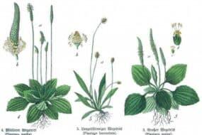 Πλαντάγκο ή πεντάνευρο: Ένα φυσικό επουλωτικό